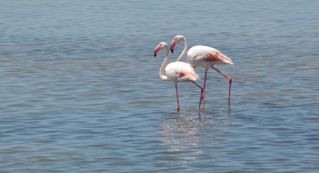 Camarque Flamingos