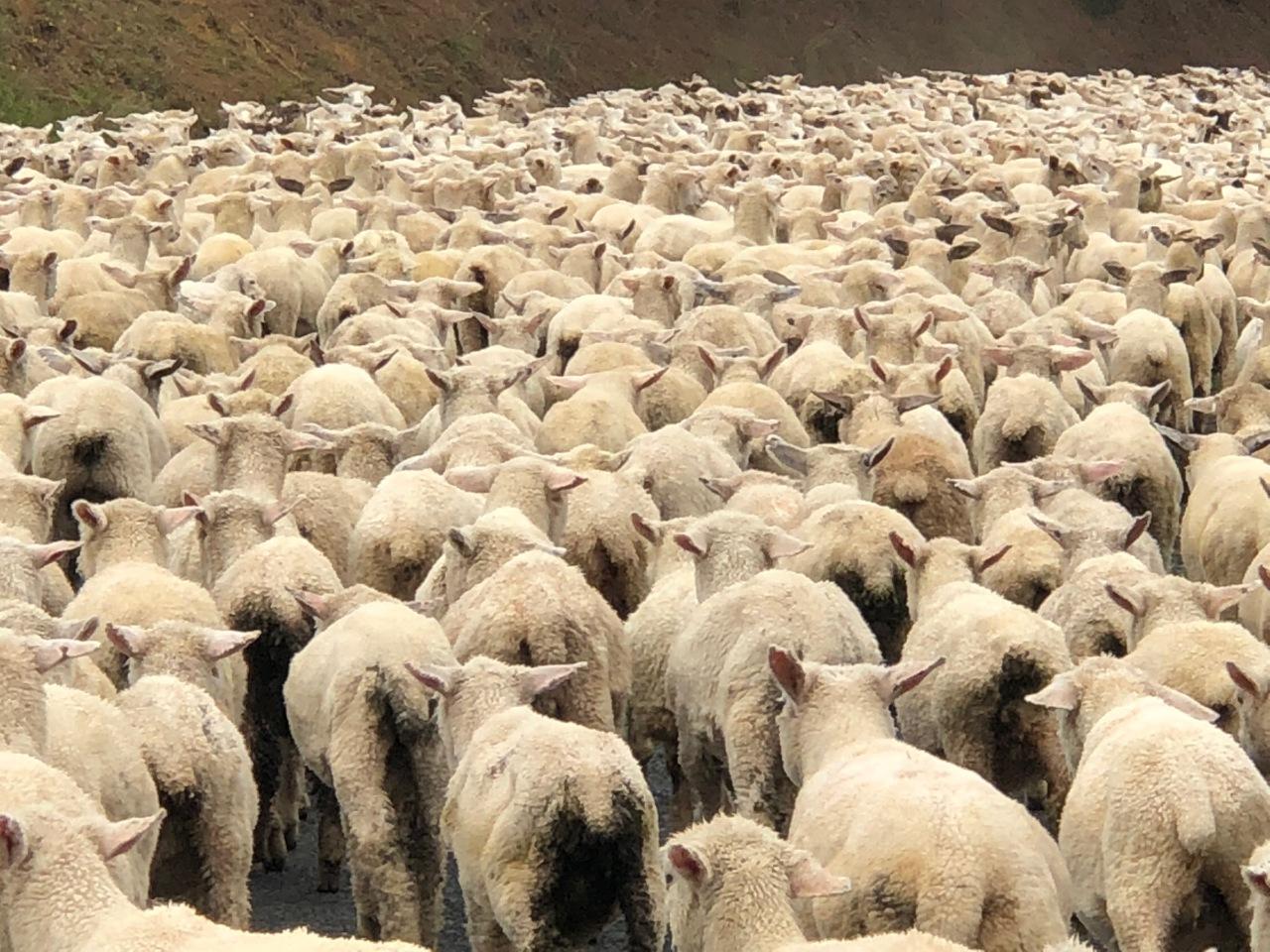 NZ Schafe - 1