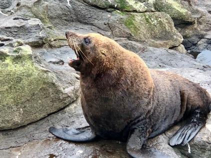 NZ Seelöwe